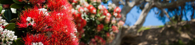 Pohutukawa Tree in Tauranga